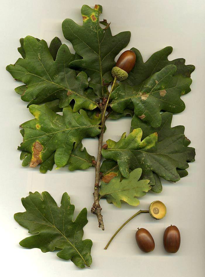 Дуб и лечебные свойства дубовой коры, фото, противопоказания