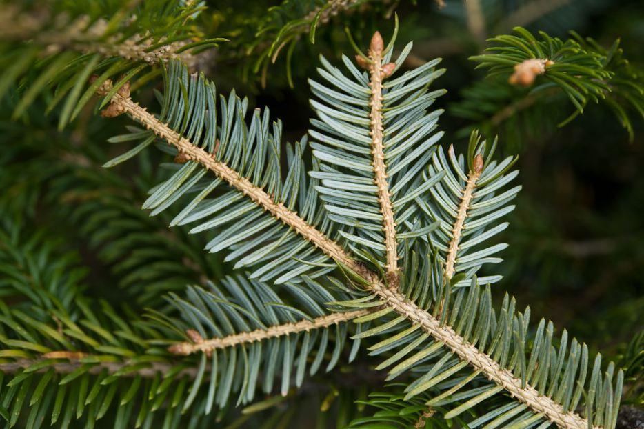 аянская елка