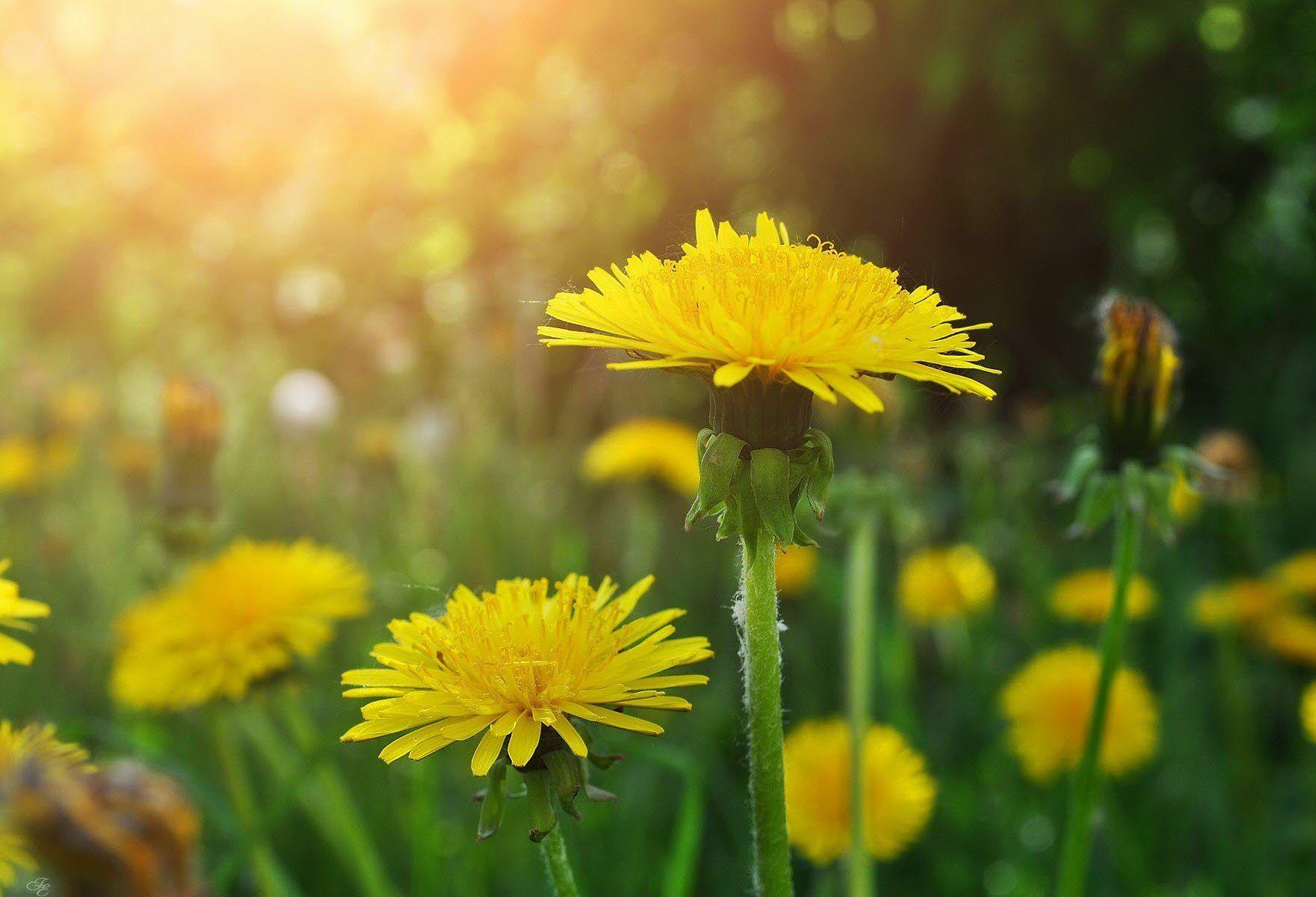 Цветы одуванчика лечебные свойства и противопоказания, отзывы