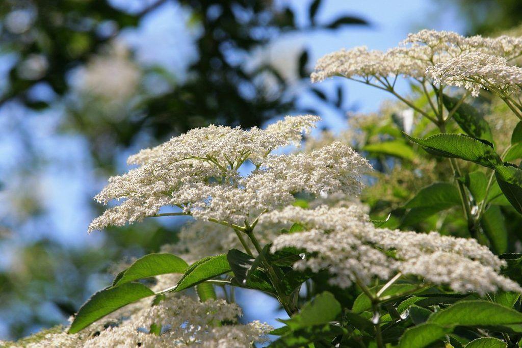 бузина черная цветы