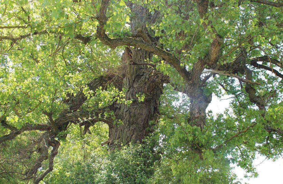 дерево Тополь черный
