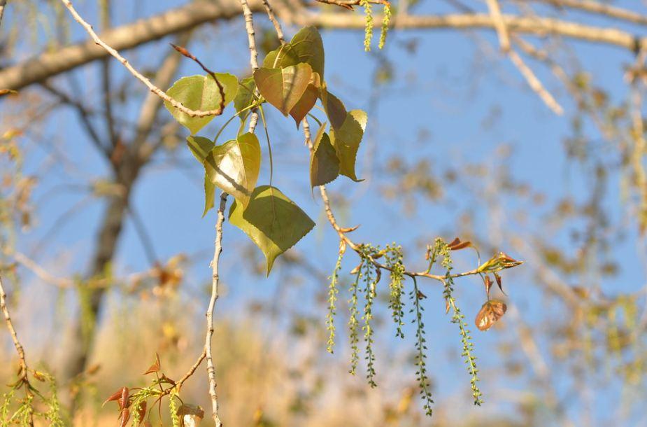 лист черного тополя