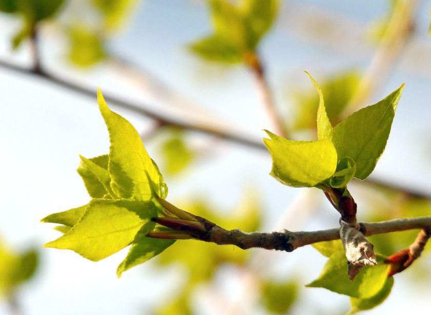 листья из почек черного тополя