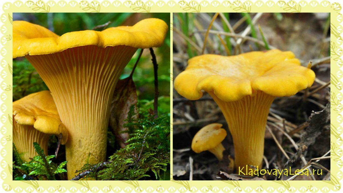 грибы лисички места