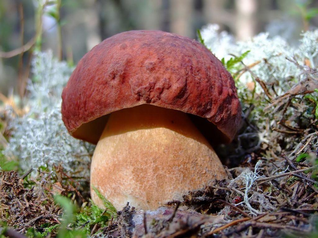 белый гриб картинки и фото