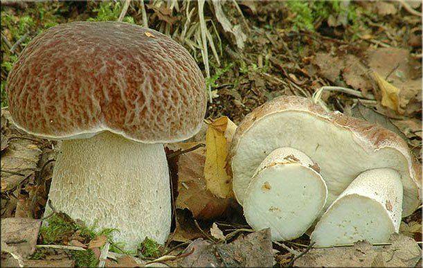Белый гриб сетчатый