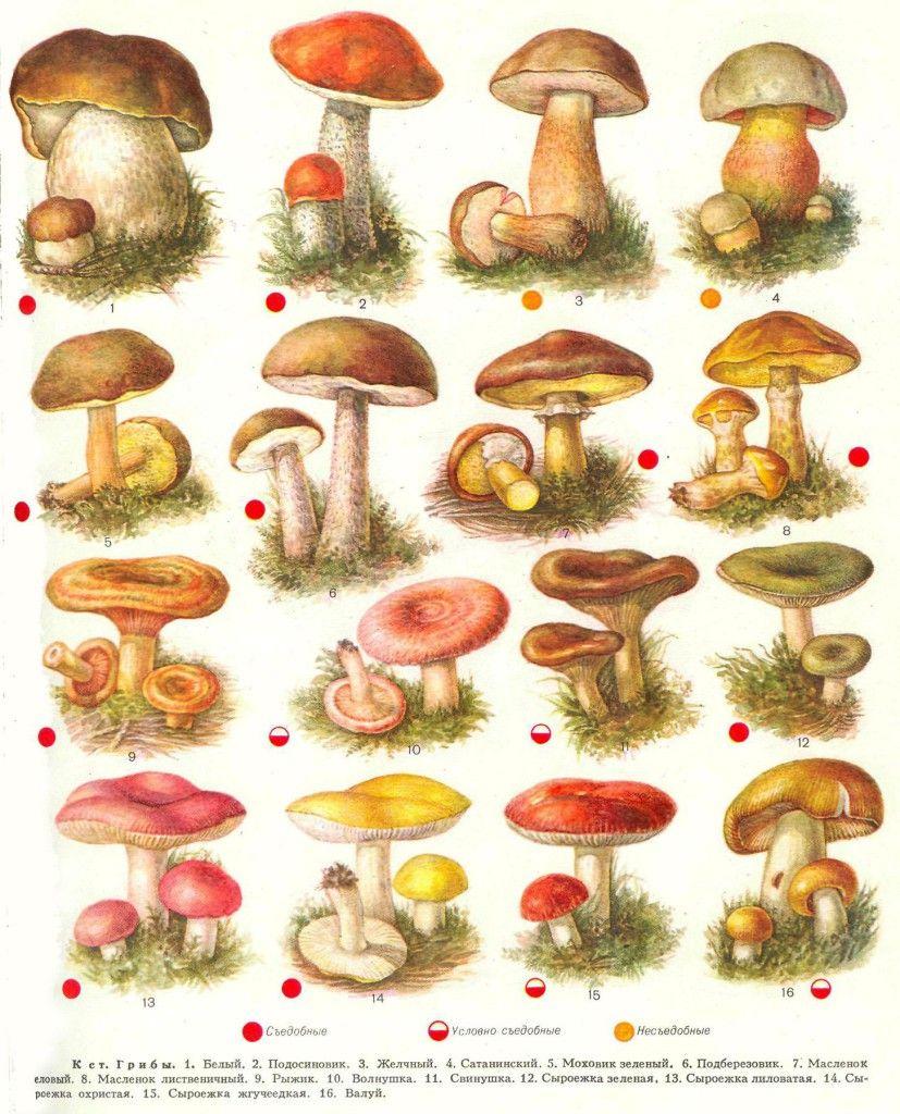 съедобные грибы фото