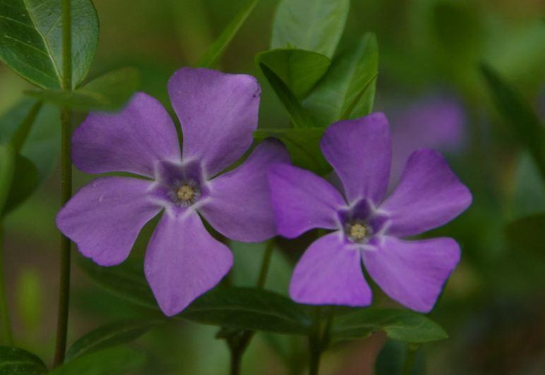 Барвинок фиолетово-пурпурный махровый