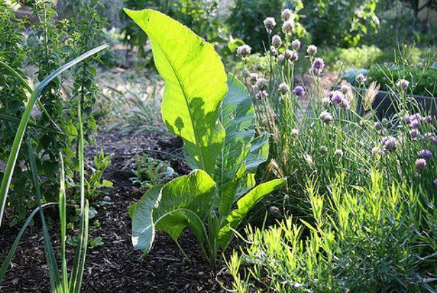 хрен обыкновенный растение