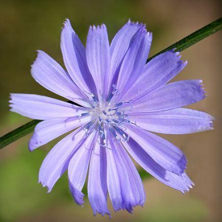 цикорий цвет