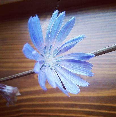 цикорий цветок