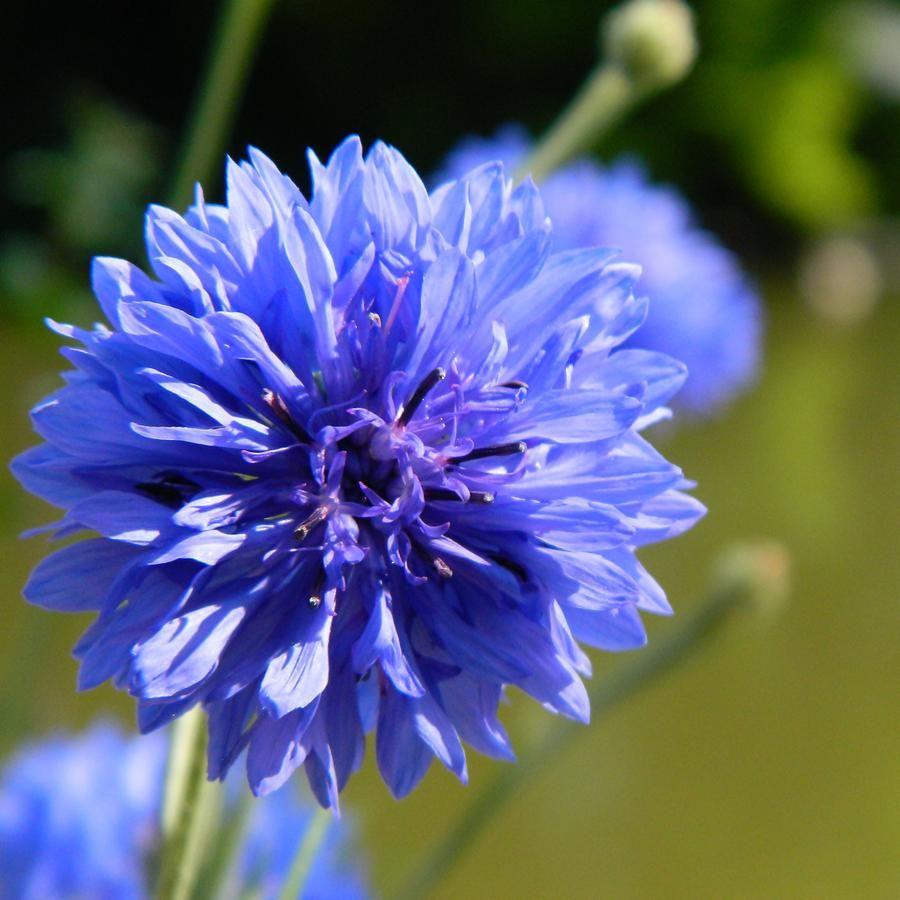 Василек синий: лекарственные свойства и противопоказания