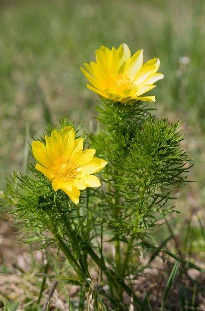 Горицвет (адонис весенний) - лечебные свойства и противопоказания