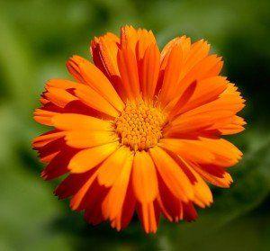 40 см цветет начиная с июня и до ноября