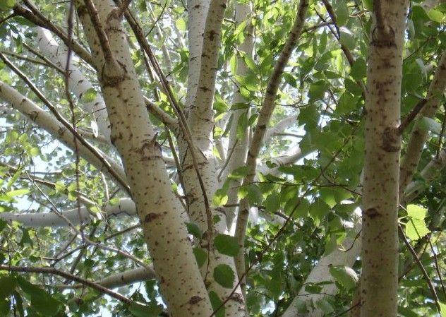 лечебные свойства мангустина
