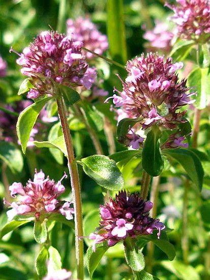 Чабрец или тимьян: полезные и лечебные свойства. Применение ...