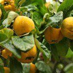 Айва обыкновенная плод