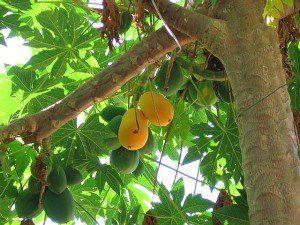 дынное дерево или папайя