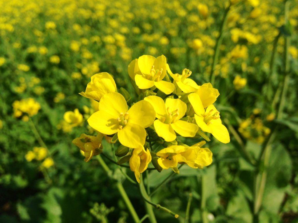 горчица цветок