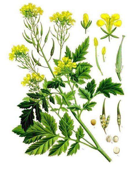 горчица белая фото растения