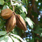 Какао, шоколадное дерево