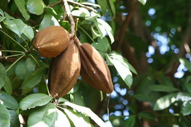 Какао, шоколадное дерево фото