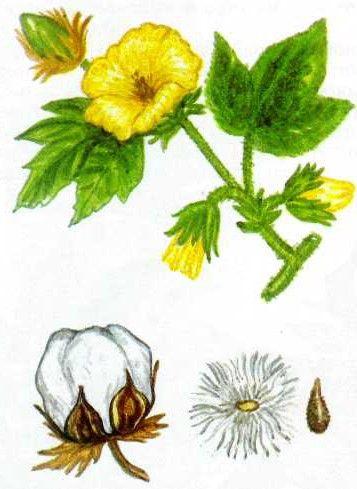 фото хлопок растение