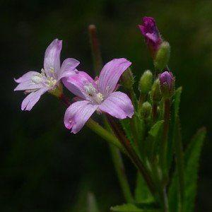 Кипрей мелкоцветковый