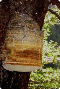 лиственничная губка фото