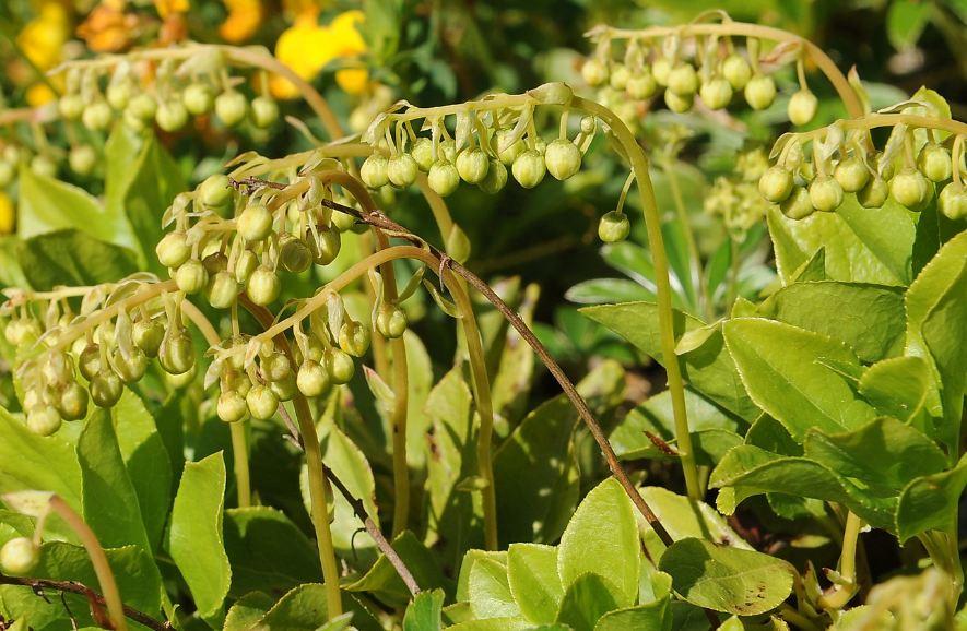 боровая матка растение