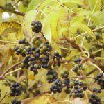 Бархат амурский плоды