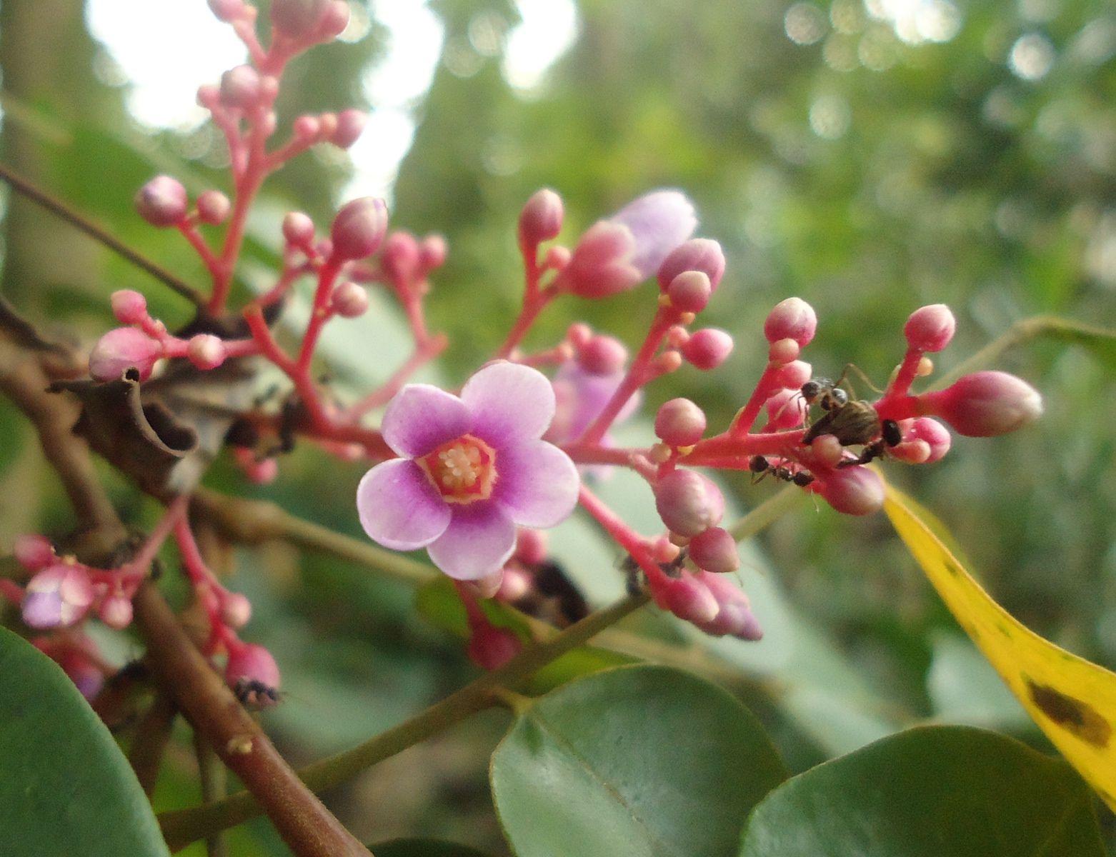 карамбола цветок