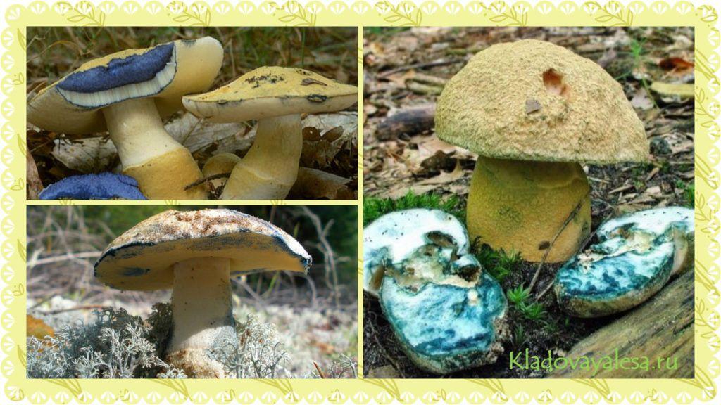 Синяк гриб