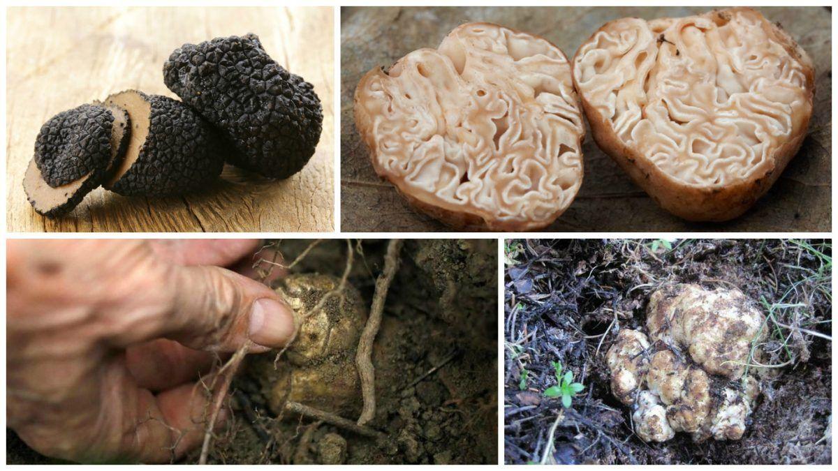 фото грибы трюфели