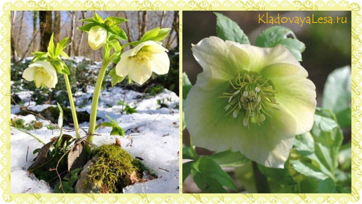 Морозник цветок описание