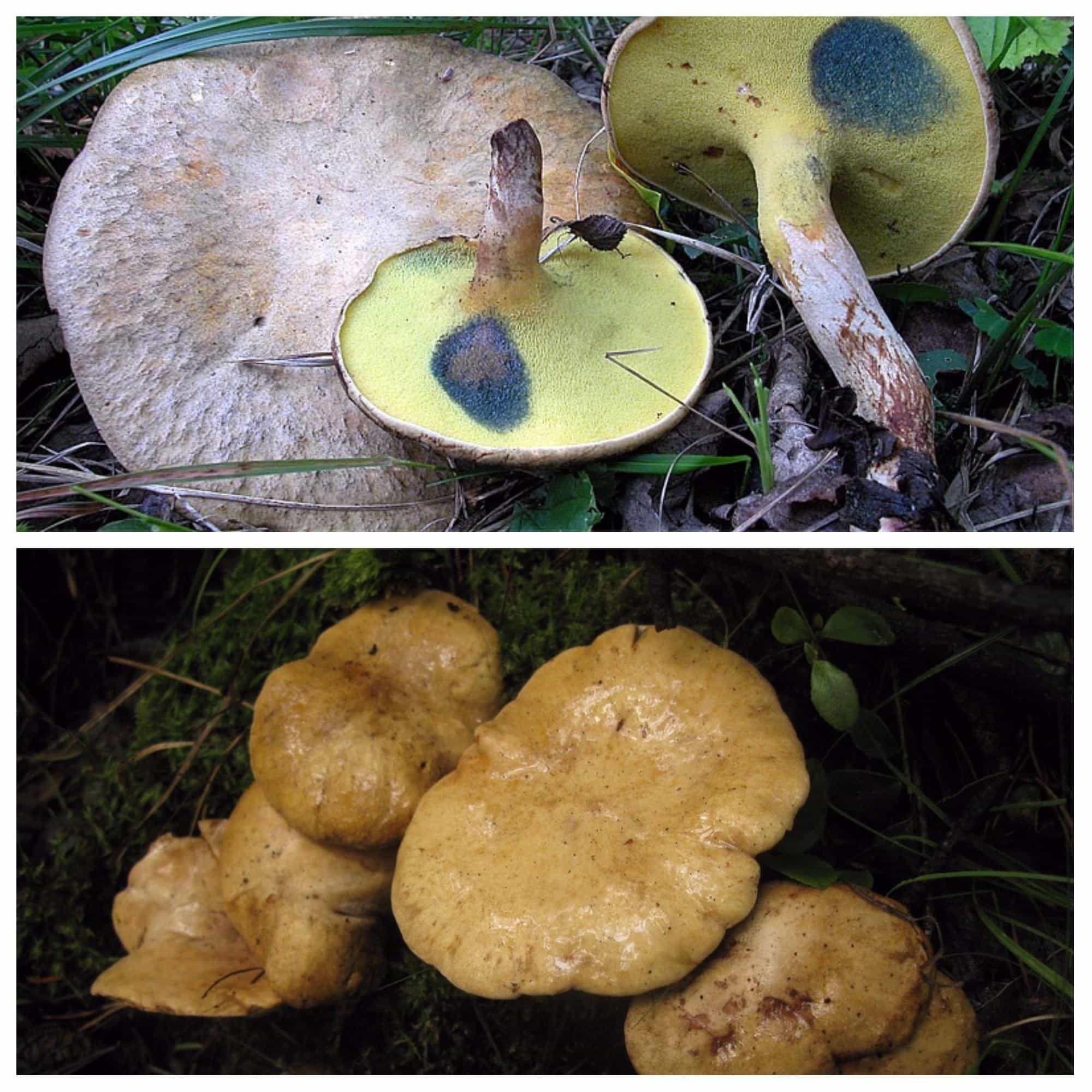 подольшаник гриб фото