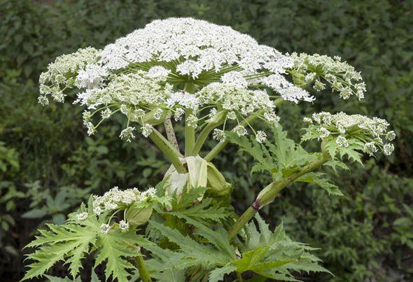 Борщевик- как выглядит, полезные свойства и опасные особенности ядовитого растения