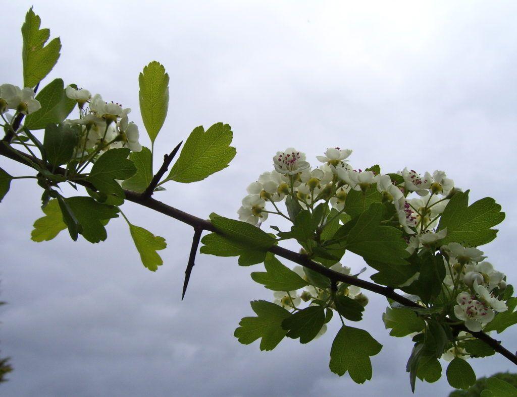 боярышник цветы