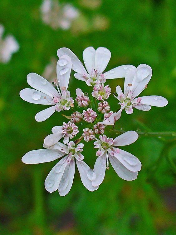 кориандр цвет
