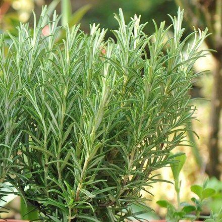 розмарин растение