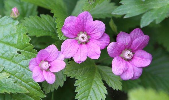 княженика цветы
