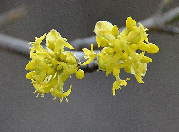 цветки кизила