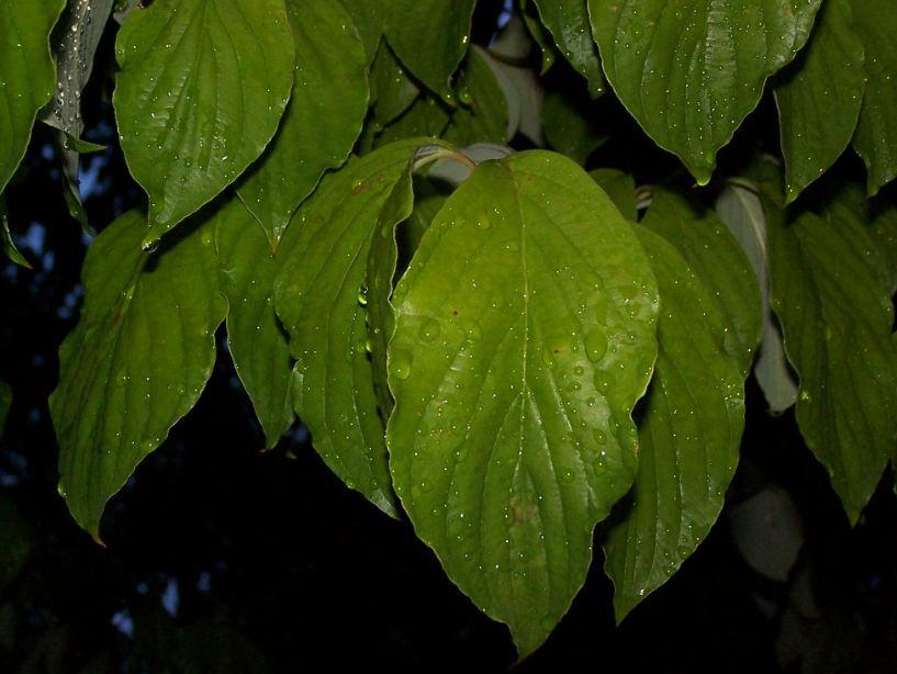 Лист кизила