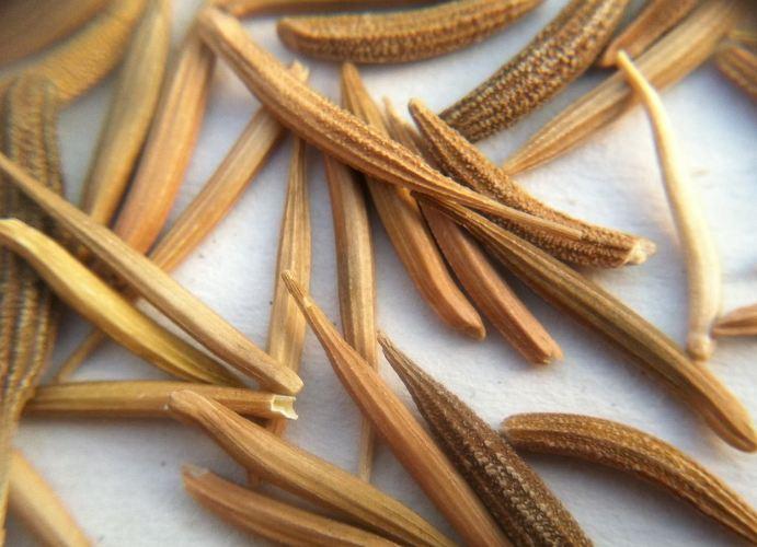 козлобородник семена