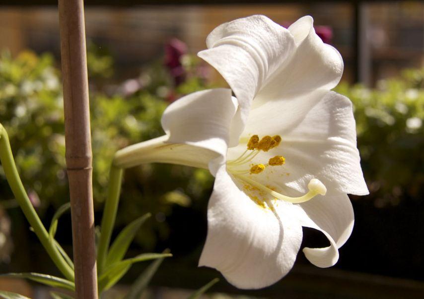 Лилия белая цветок