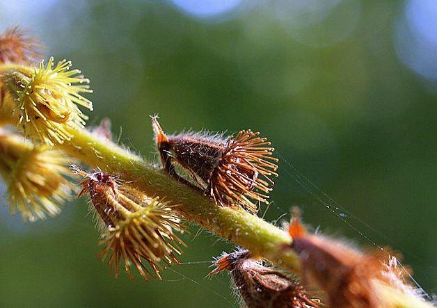 Репешок семена