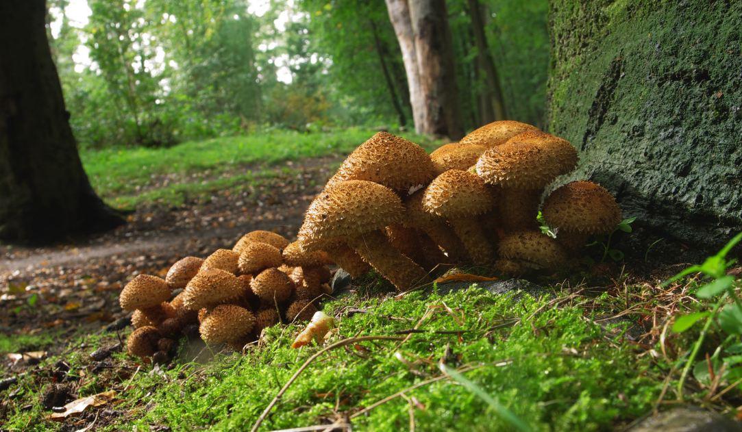 гриб чешуйчатка сухая