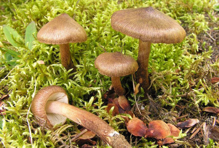 гриб Волоконница
