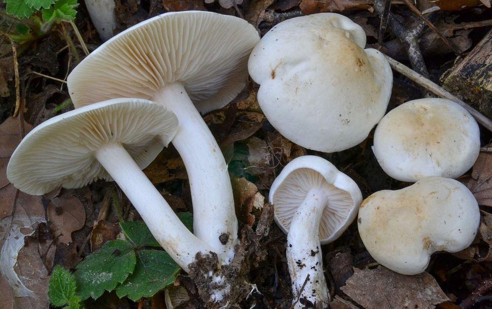 белая рядовка гриб