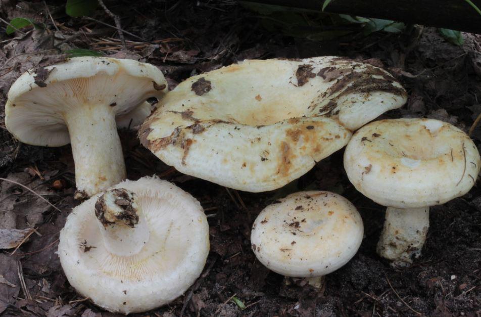 гриб белый груздь